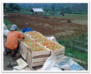 Tomat, Hasil Palawija Masyarakat Desa Cipulus